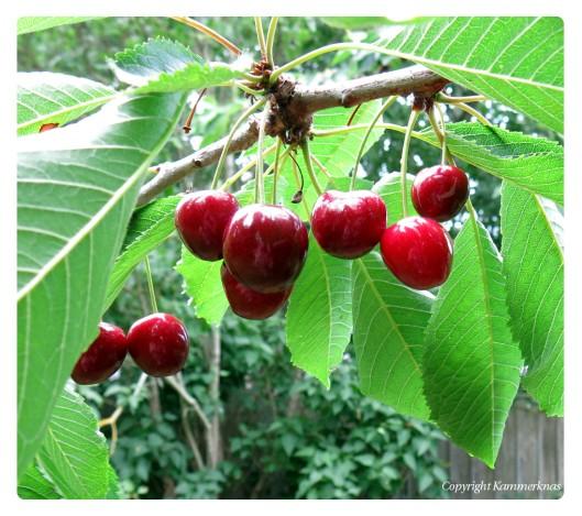 Kirsebær